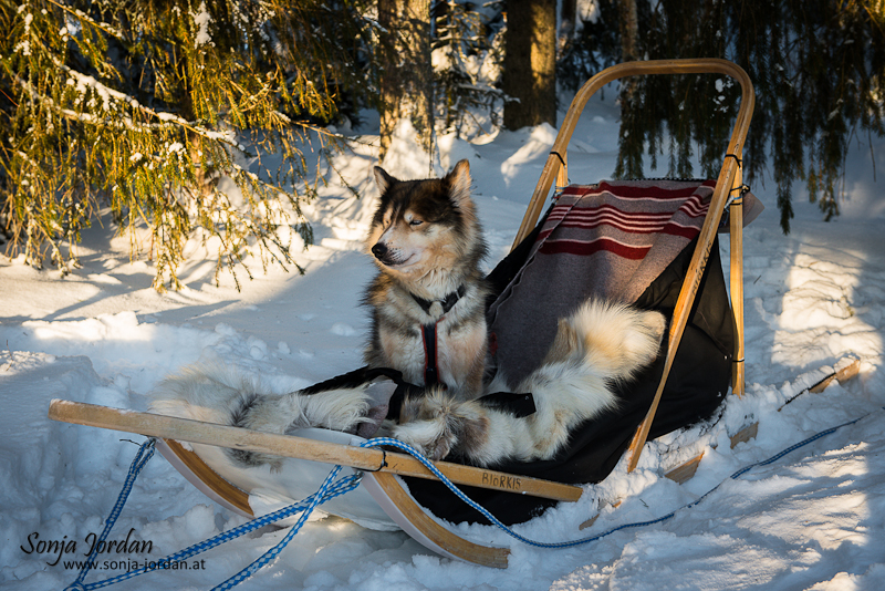 Husky sitzt in Hundeschlitten, Finnland, Lappland, Skandinavien