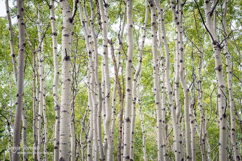 Espen, Wald, Jasper Nationalpark, Alberta, Kanada, Nordamerika