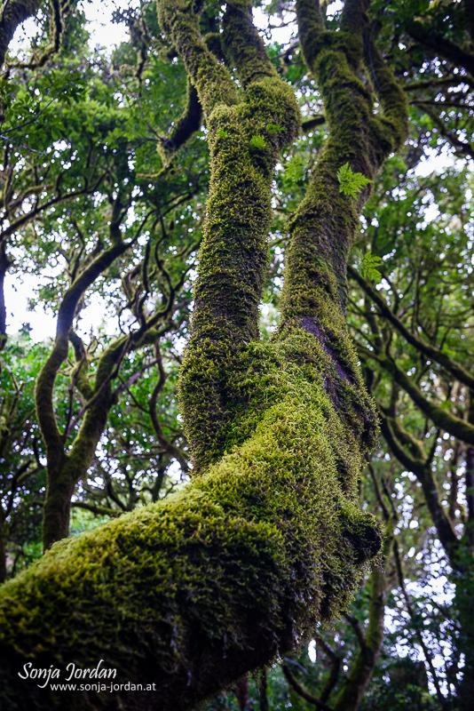 Las Mercedes Lorbeerwald, Mercedeswald, Kanarische Inseln, Teneriffa, Spanien