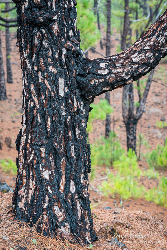 Waldbrandgebiet, Nationalpark Teide, Kanarische Inseln, Teneriffa, Spanien