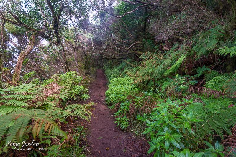 Camino de las Vueltas, Mercedeswald, Lorberwald, Kanarische Inseln, Teneriffa, Spanien