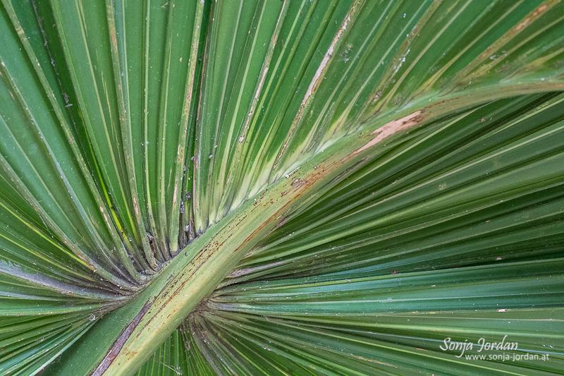 Palmenblatt, Detailaufnahme