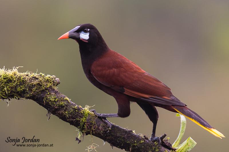 Montezumastirnvogel (Gymnostinops montezuma, Montezuma Oropendola) sitzt auf Ast, Provinz Alajuela, San Carlos, Costa Rica, Mittelamerika