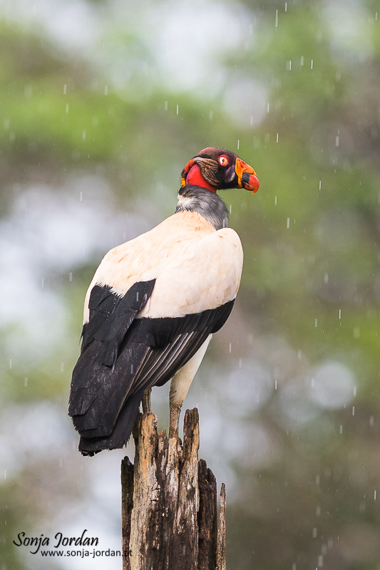 Königsgeier (Sarcoramphus papa) sitzend auf Baumstamm im Regen, Costa Rica, Mittelamerika