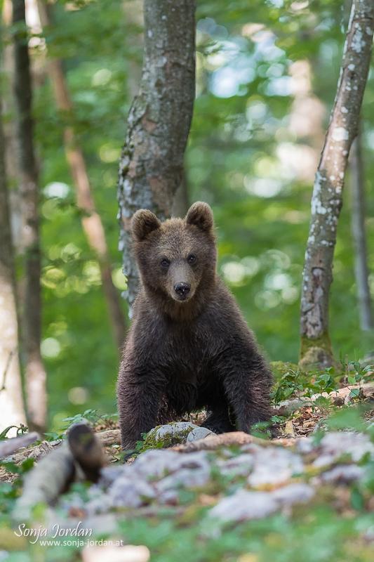 Braunbär (Ursus arctos), Jungtier im Wald, Notranjska Region, Slowenien