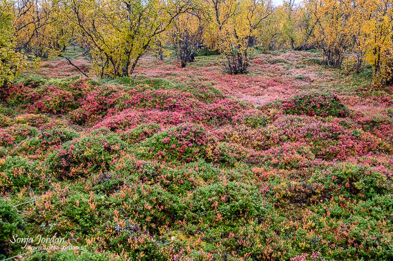 Herbstlicher Waldboden, Heidelbeeren, Norrbotten, Norrbottens län, Laponia, Lappland, Schweden