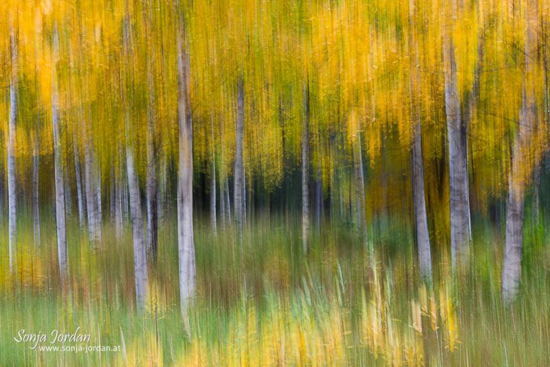 Birkenwald im Herbst, verwischt, abstrakt, Lappland, Schweden