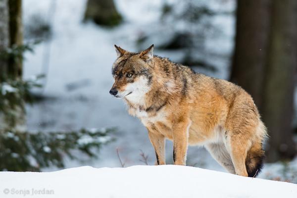 Tierfotografie im NP Bayerischen Wald