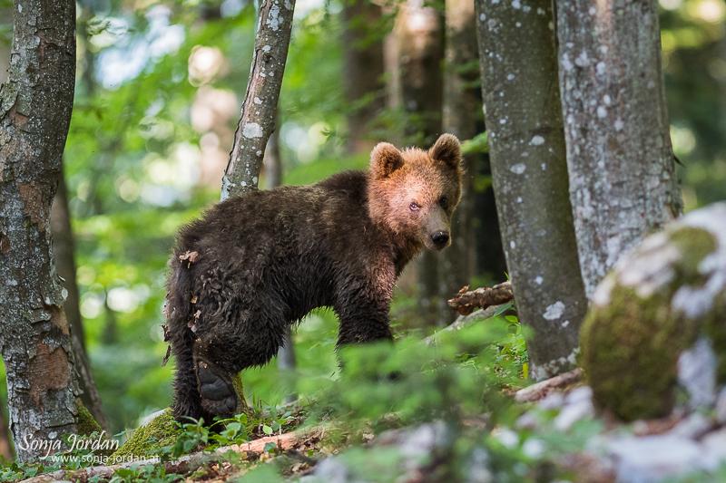 Zu Besuch bei Sloweniens Braunbären