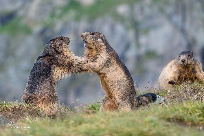 Alpenmurmeltiere (Marmota marmota)