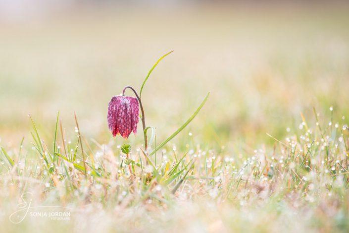 Schachblume (Fritillaria meleagris)
