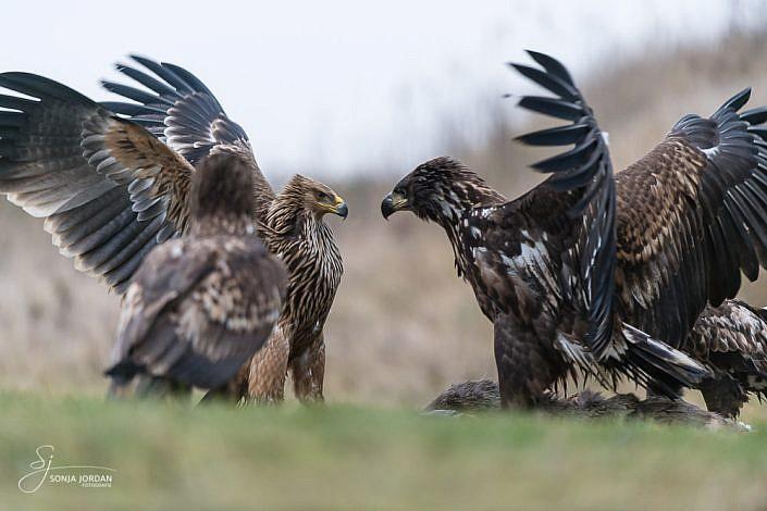 Östlicher Kaiseradler (Aquila heliaca) und Seeadler (Haliaeetus albicilla)
