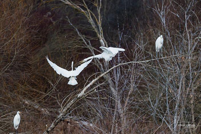Silberreiher (Ardea alba)