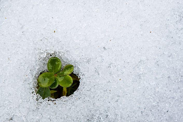 Klee im Schnee