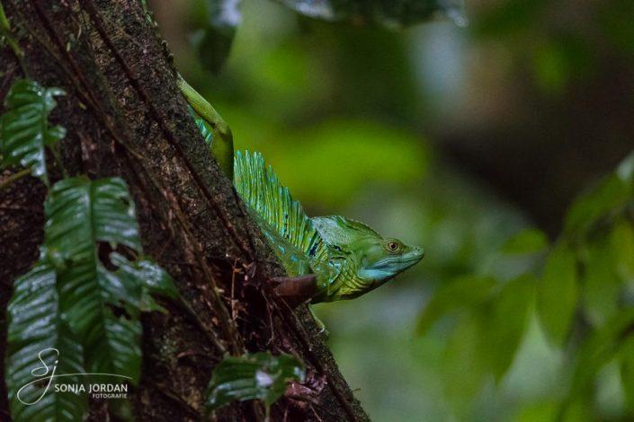 Stirnlappenbasilisk (Basiliscus plumifrons)
