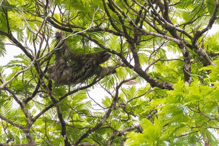 Faultier (Bradypus)