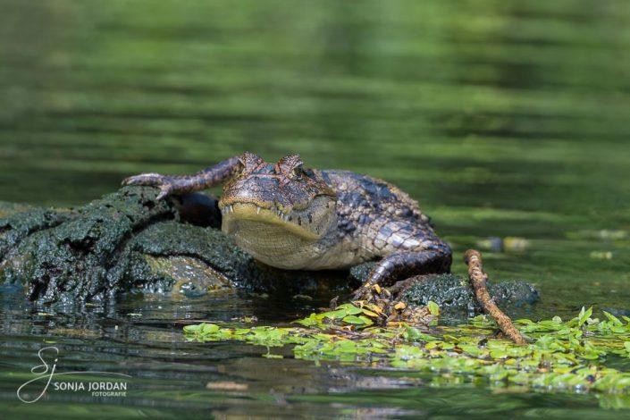 Kaiman (Caiman crocodilus)