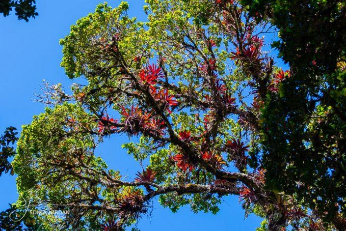 Bromelien (Bromelia spec.)