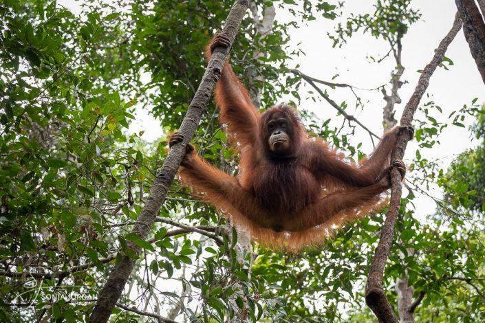Borneo-Orang-Utan (Pongo pygmaeus) Borneo-Orang-Utan (Pongo pygmaeus)