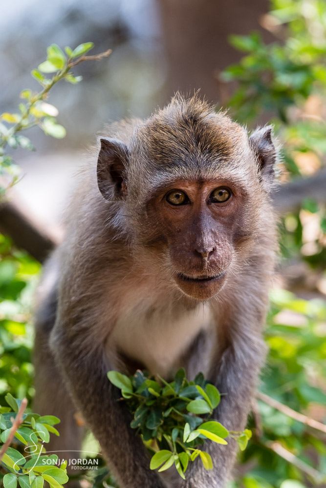 Langschwanzmakak (Macaca fascicularis)