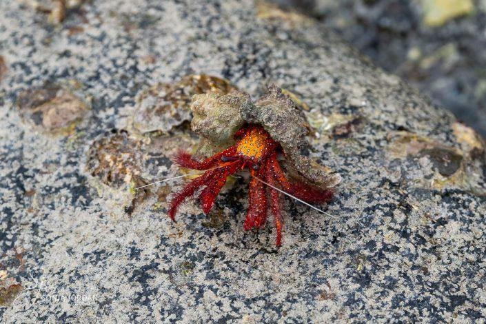 Einsiedlerkrebs (Dardanus lagopodes)