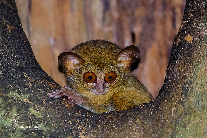 Sulawesi-Koboldmaki (Tarsius)