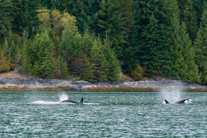 Orcas (Orcinus orca)