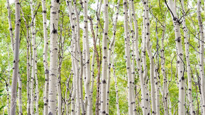 Aspen (Populus tremula)