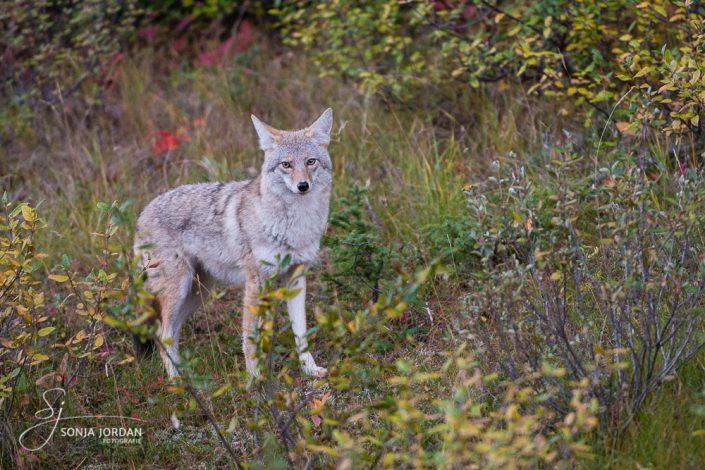 Koyote (Canis latrans)