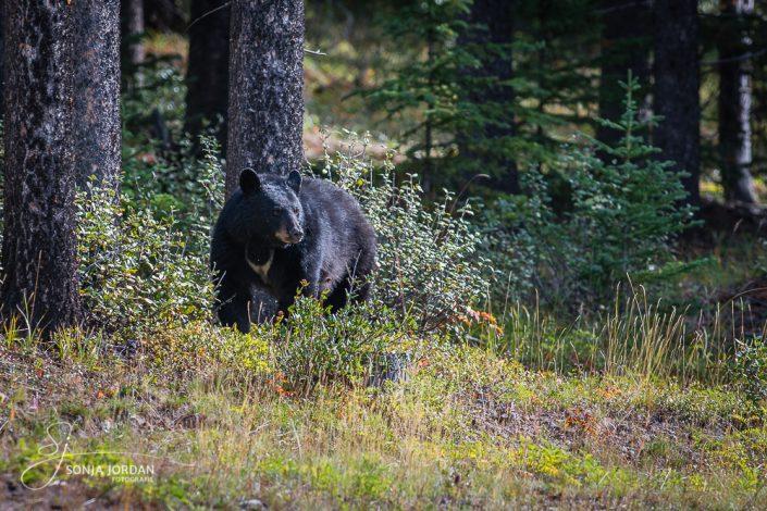 Schwarzbär (Ursus americanus)