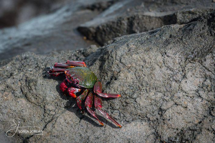 Krabbe (Grapsus adscensionis)