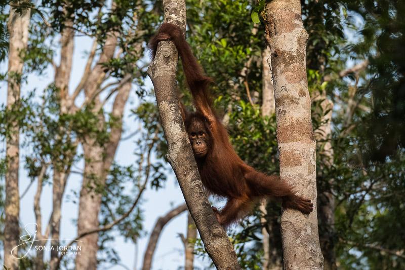 Zu Besuch bei Borneos Orang Utans