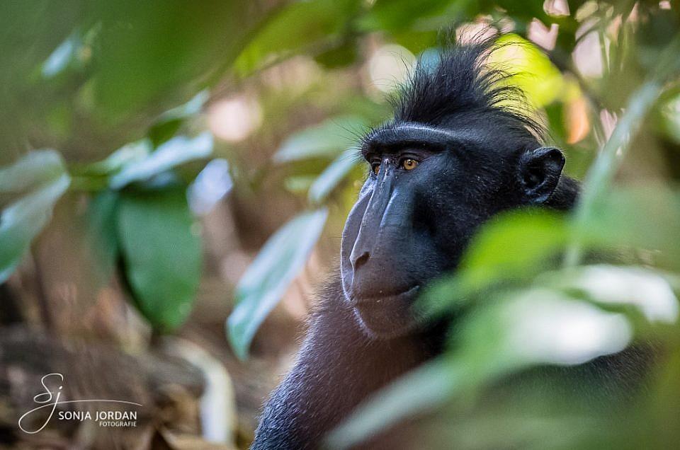 Endemische Tierwelt auf Sulawesi
