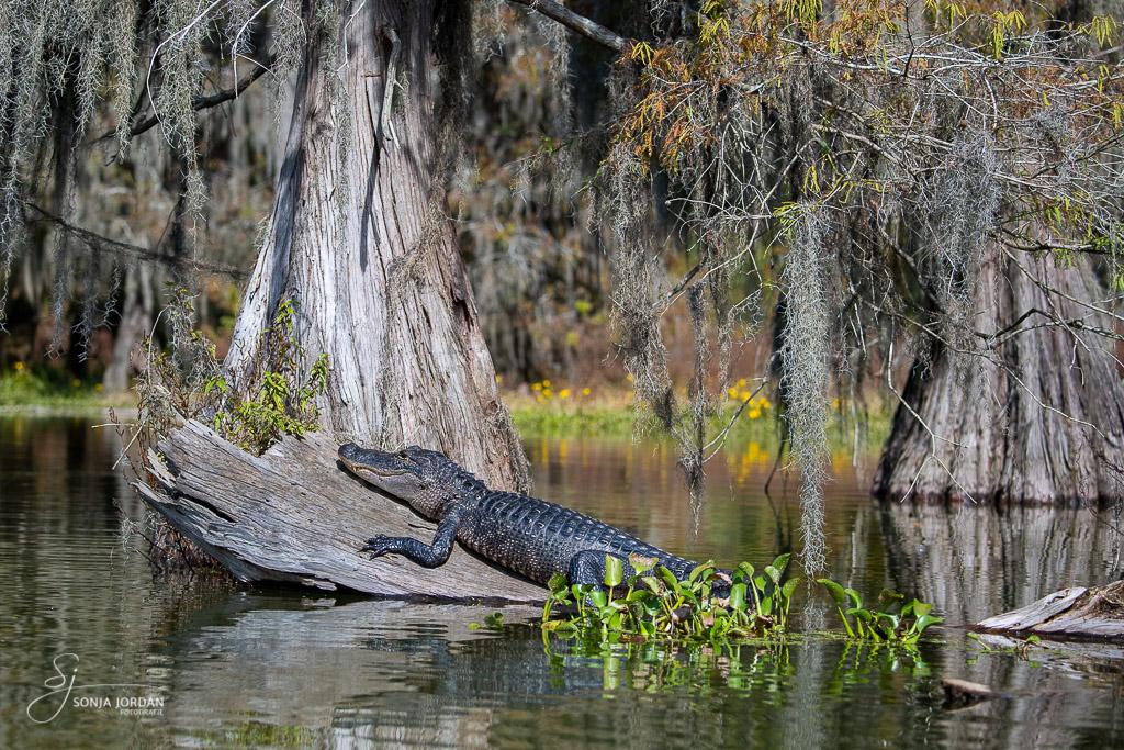 Mississippi-Alligator beim Sonnenbad
