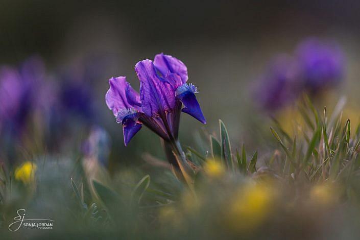 Zwerg-Iris (Iris pumila)
